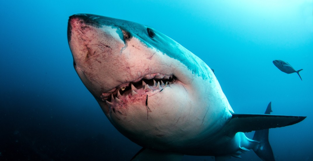 Great white shark could come to BC, says UBC researcher