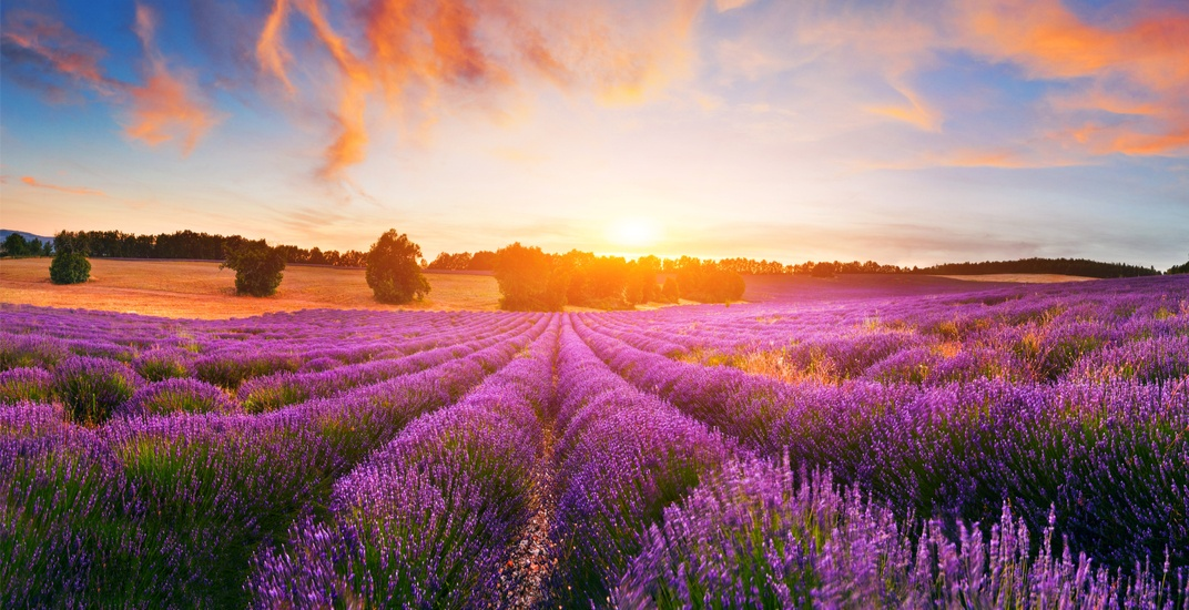 There's a spectacular lavender farm an hour north of Toronto (PHOTOS)