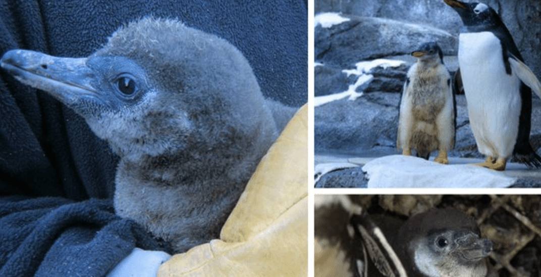 The Calgary zoo just got three new adorable penguin chicks