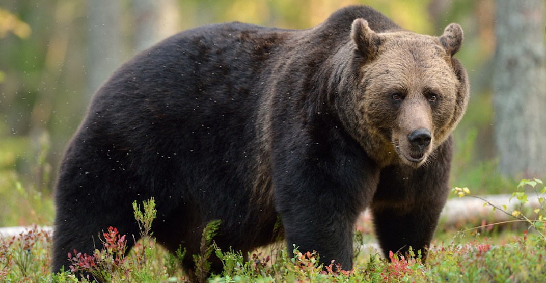 Bear warning still in effect for hiking trails in Canmore