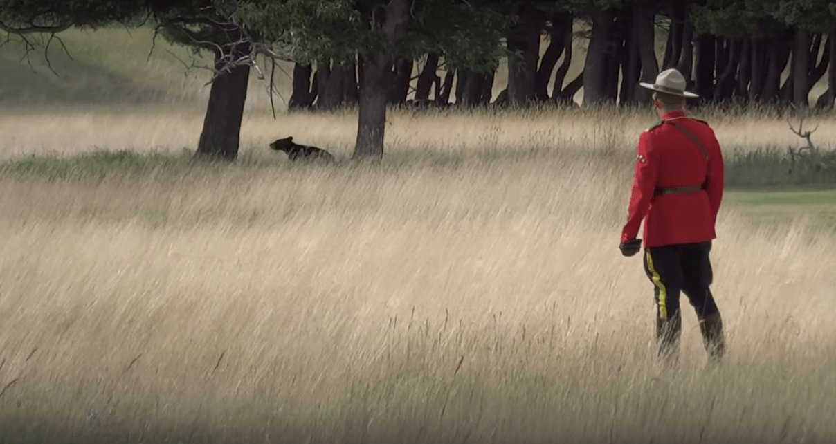 A very Canadian moment: Mountie in red serge chases black bear (VIDEO)