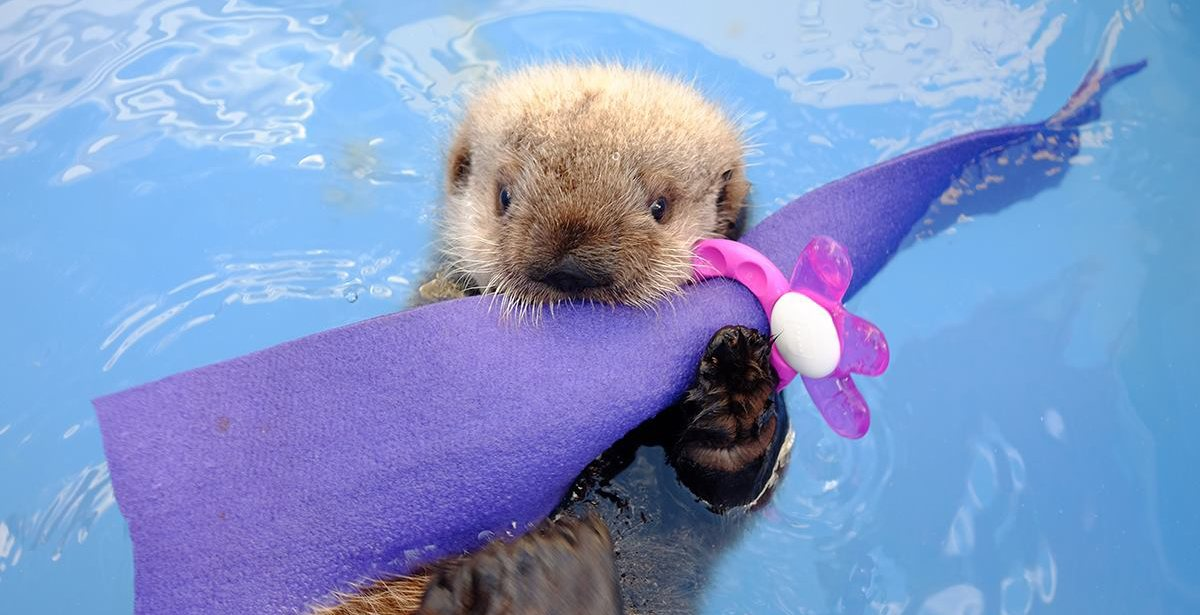 Baby otter cam for rescued sea otter pup at Vancouver Aquarium (PHOTOS)