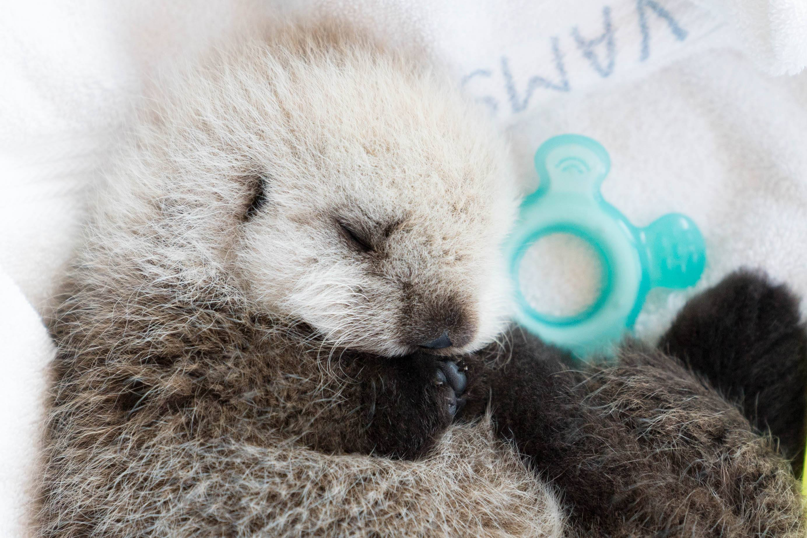 Rescued sea otter pup Hardy (Vancouver Aquarium)