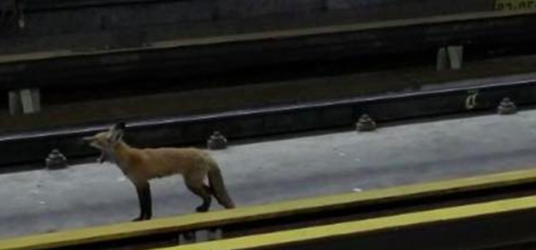 A red fox was rescued from McGill Metro station over the weekend