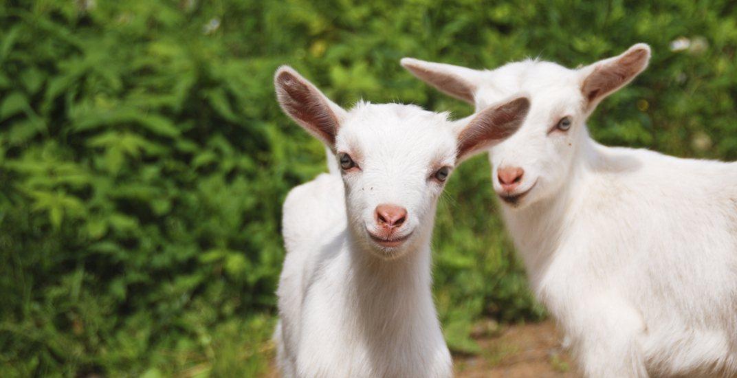Goats petting zoo