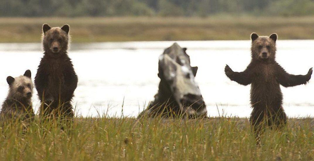 Great bear rainforest grizzly bears