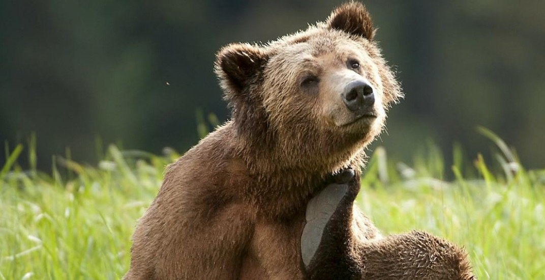 'Beary' cute: 25 photos of playful yet dangerous grizzlies in BC