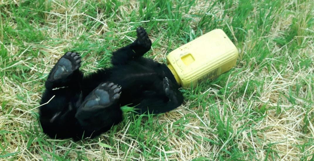Black bear cub stuck
