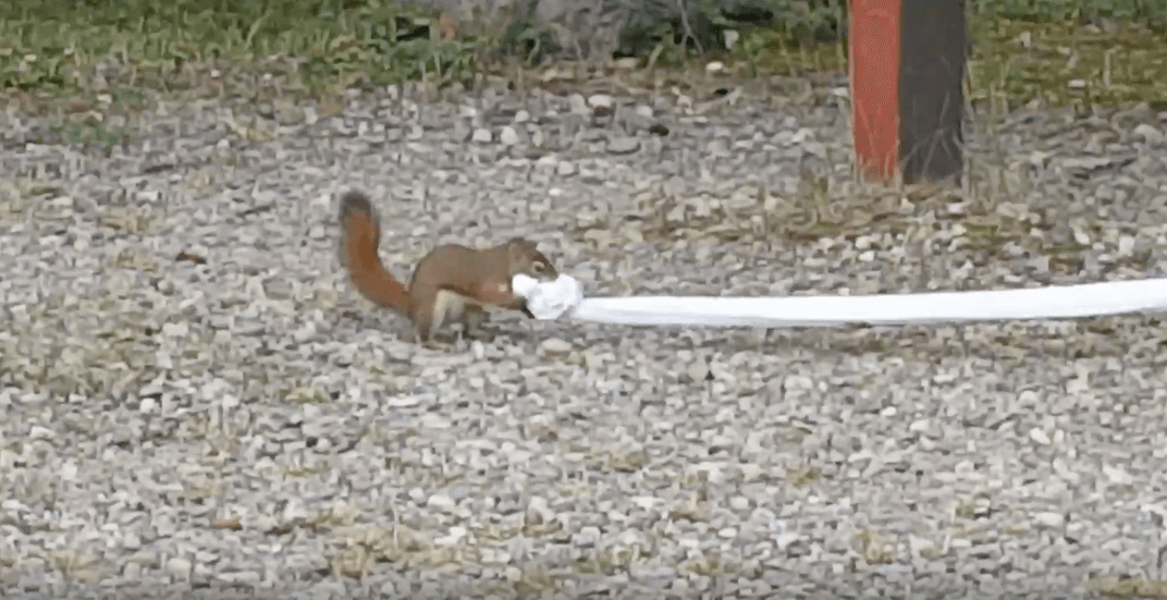 Mission possible: squirrel executes cutest toilet paper heist (VIDEO)