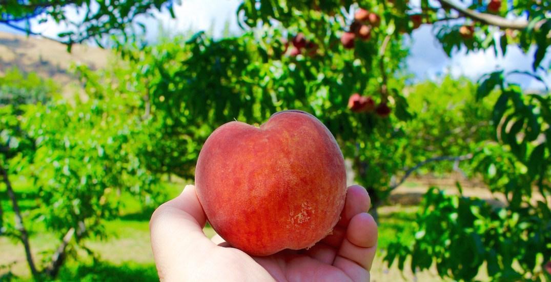 Peach okanagan