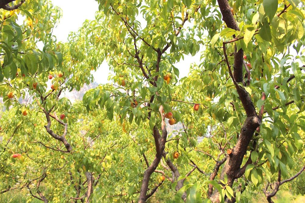 peach trees okanagan