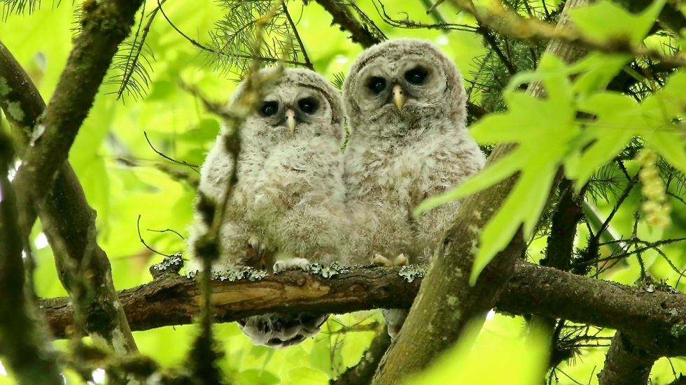 Who's Who - Barred Owlets in Aldergrove (Tobi Smith)
