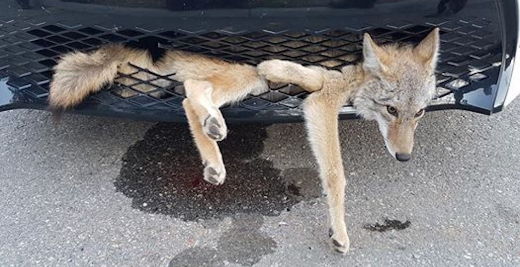 Coyote gets hit on Alberta highway, safely hitches ride for 30 km