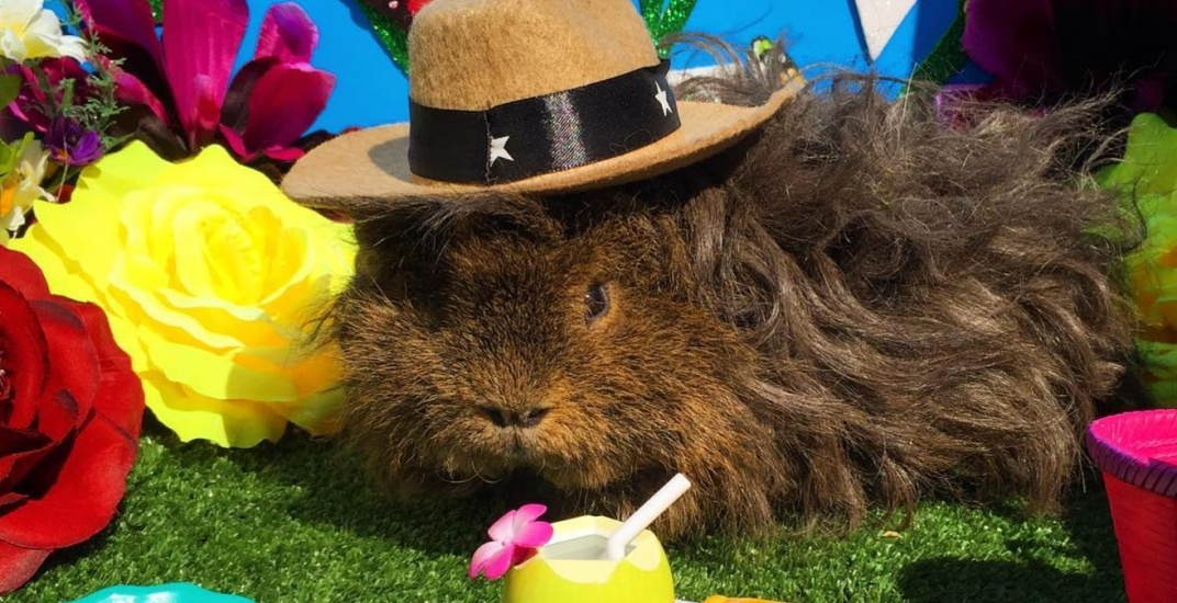 There's a Guinea Pig Picnic happening in Toronto this weekend