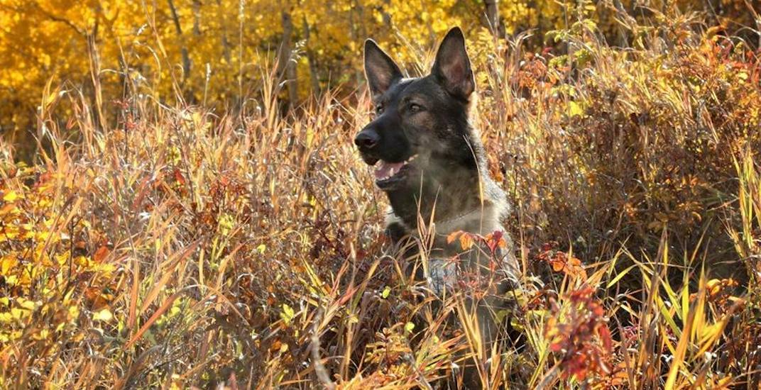 Stabbed Calgary police dog returning to work after injuries fully healed