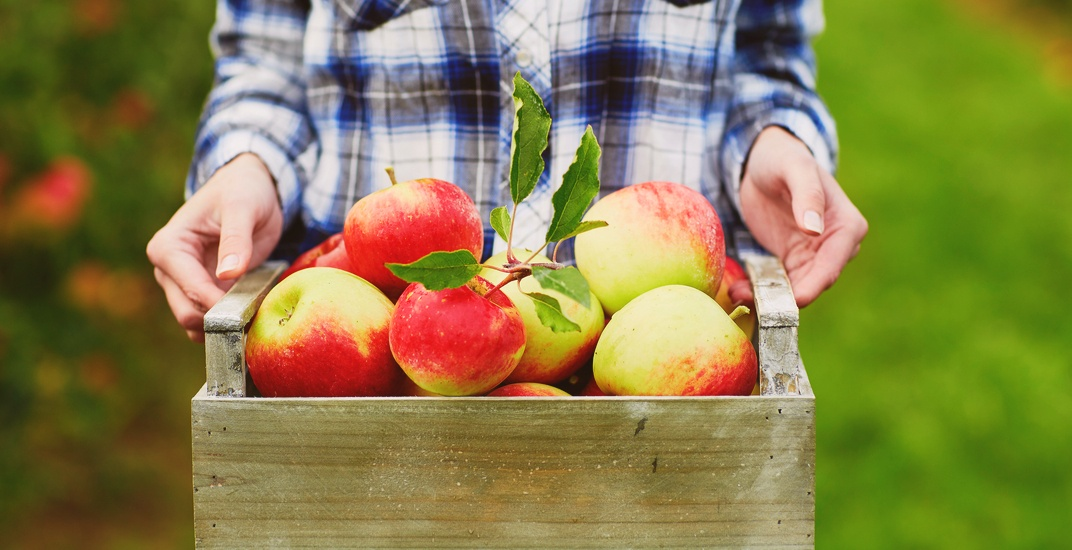 6 beautiful orchards to go apple picking around Montreal