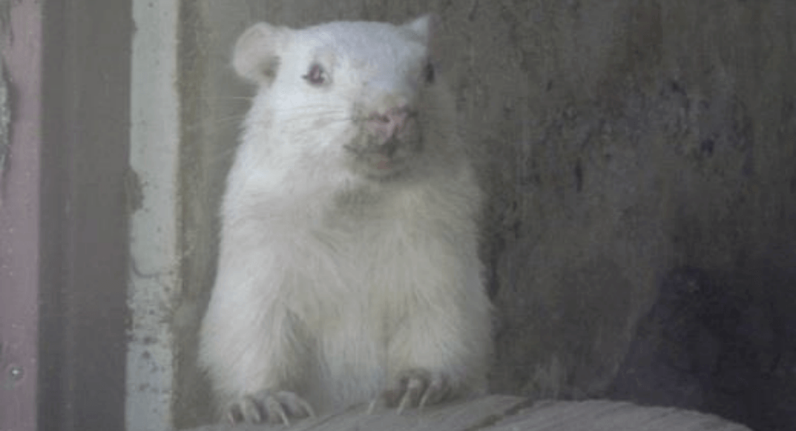 Canada's iconic prognosticating groundhog Wiarton Willie has died