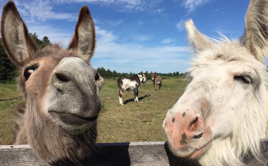 The Donkey Sanctuary of Canada is only an hour outside of Toronto (PHOTOS)