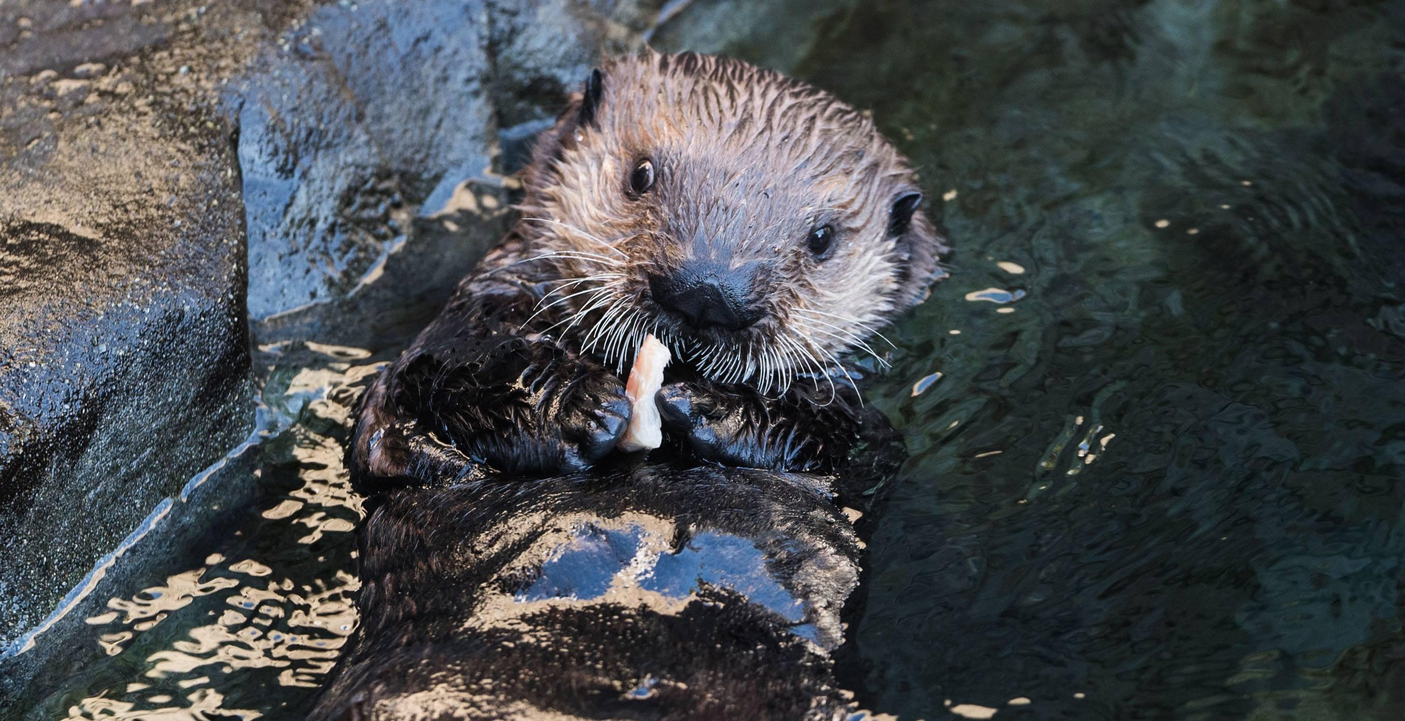 Hardy eating (Vancouver Aquarium)
