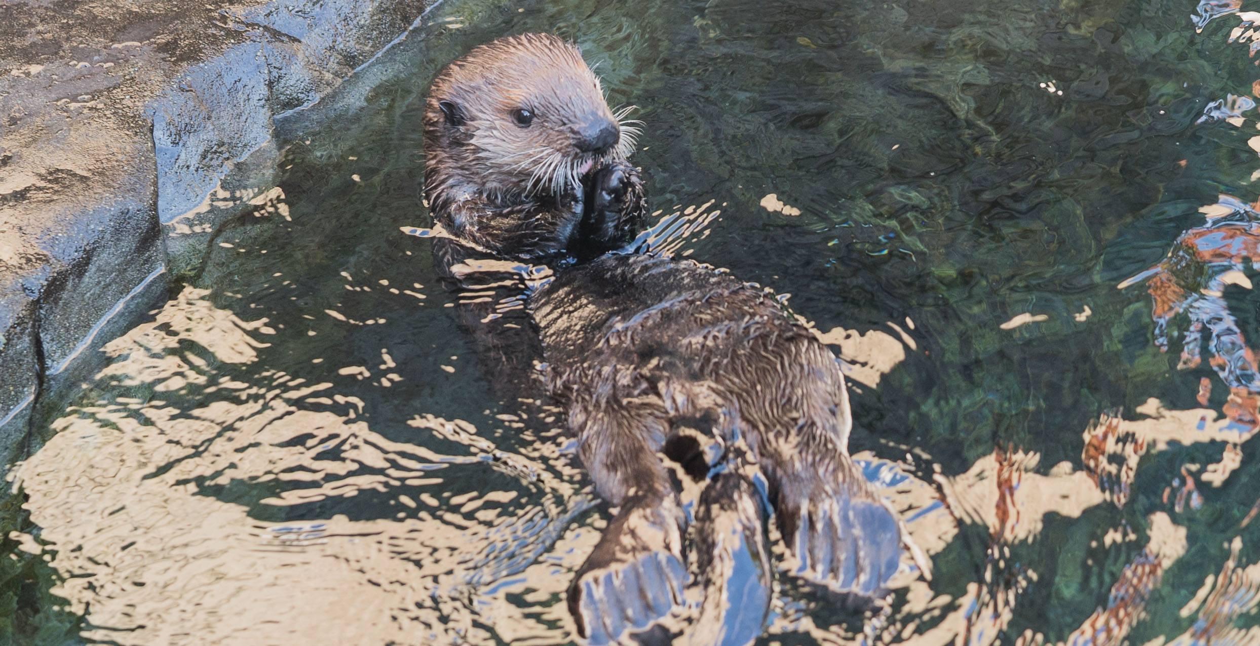 Hardy swimming (Vancouver Aquarium)