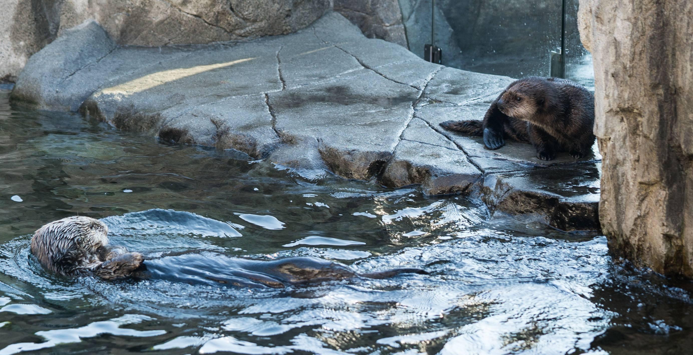 Hardy watching Tanu (Vancouver Aquarium)