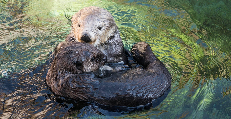 Hardy and Tanu swimming (Vancouver Aquarium)