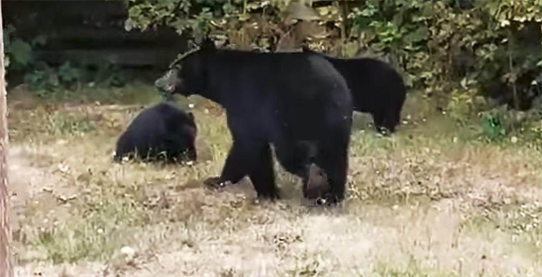Conservation Officer Service destroys black bear family, arrests 3 Coquitlam residents