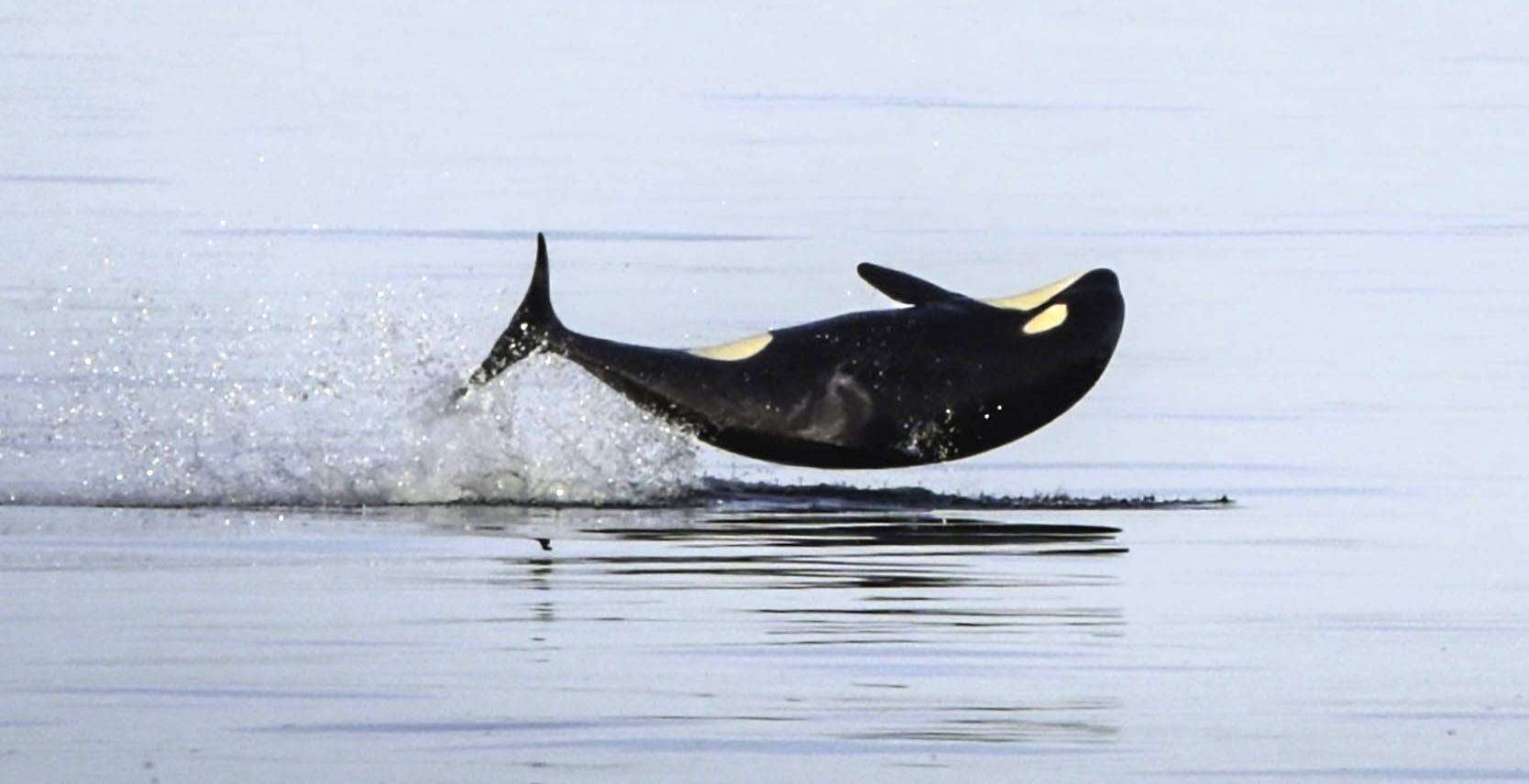 Killer whale kids j52. photo by naturalist capt heather macintyre mayas legacy whale watching friday harbor wa 9 copy