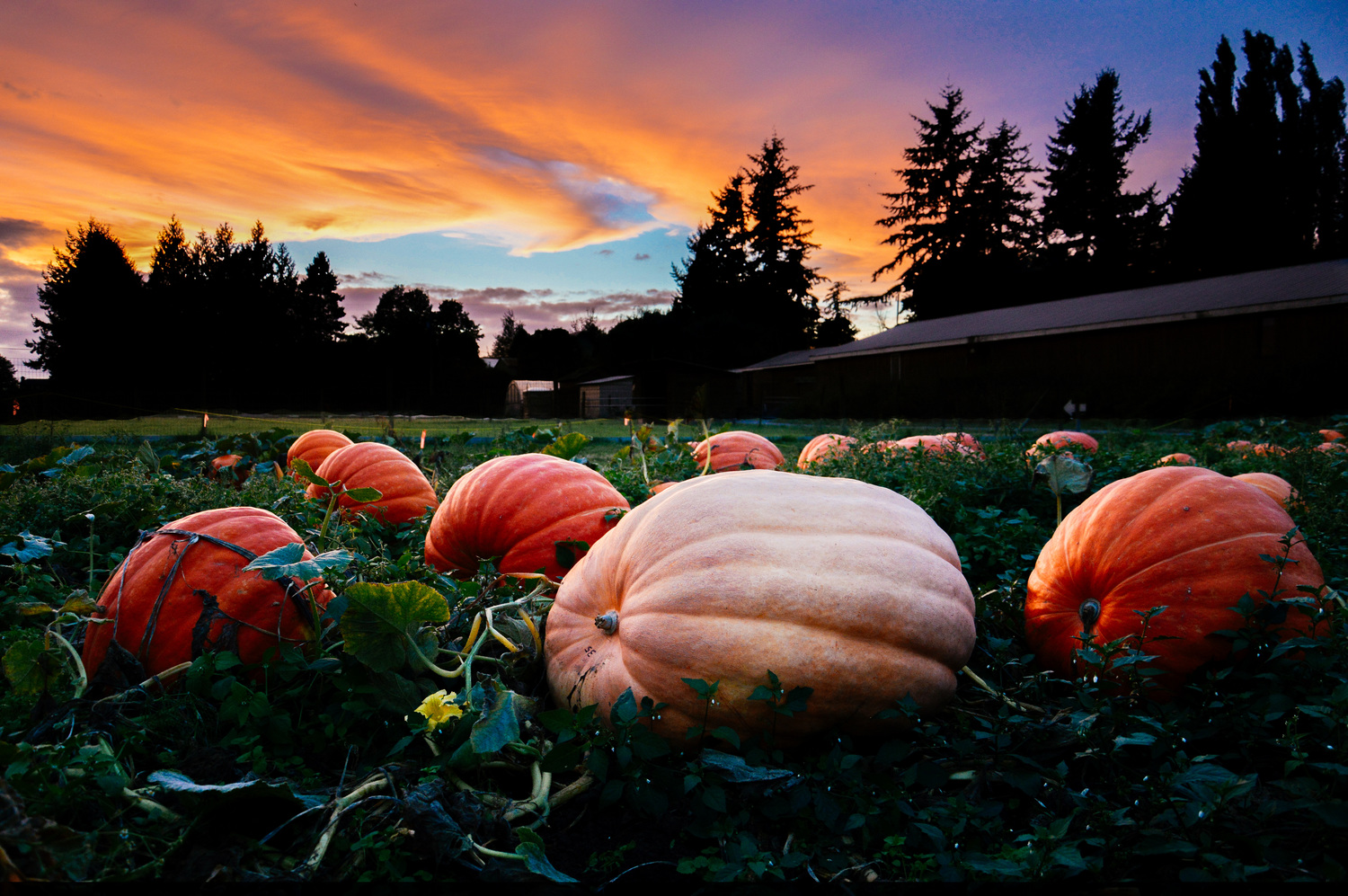 Sunset over the pumpkin patch at Willow View Farms (Kelsey Siemens)