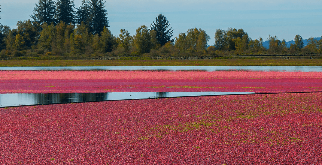 Cranberry Festival returns to Fort Langley Thanksgiving weekend
