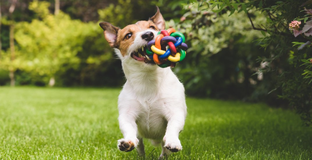 Dog running in the park with a toy alexei tmshutterstock