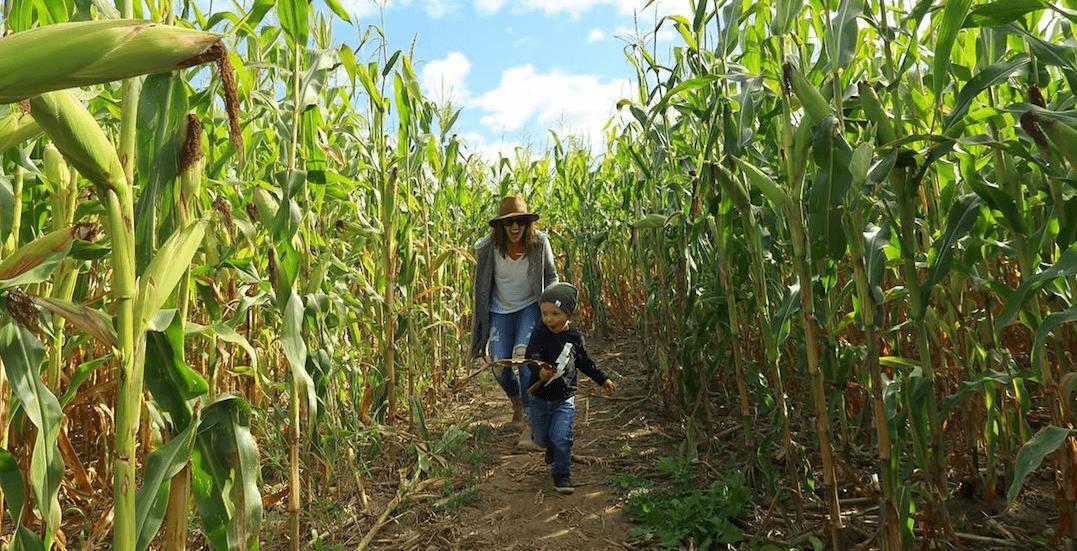 Toronto corn mazes