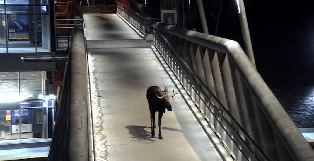 Moose visits Calgary transit station early Wednesday morning
