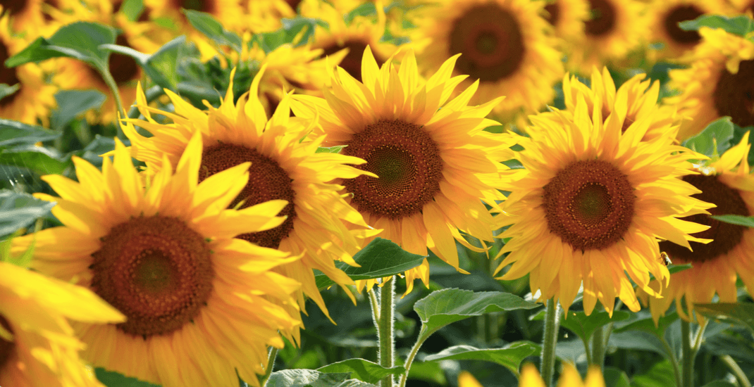 Your new favourite Insta-spot is a sunflower field at this Langley farm