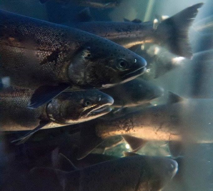 Salmon (Tynehead Hatchery)