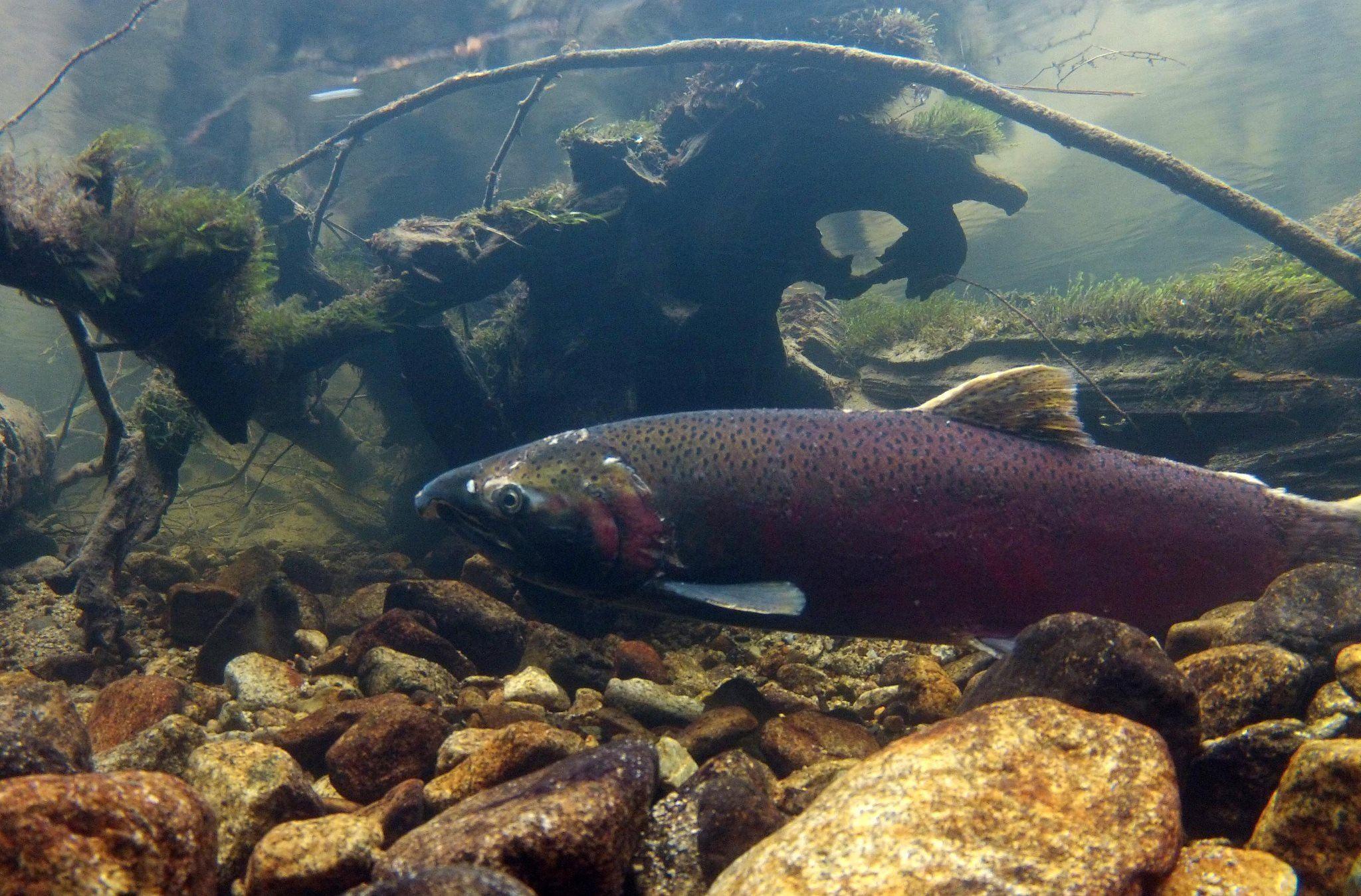Salmon (Seymour Salmonid Society)