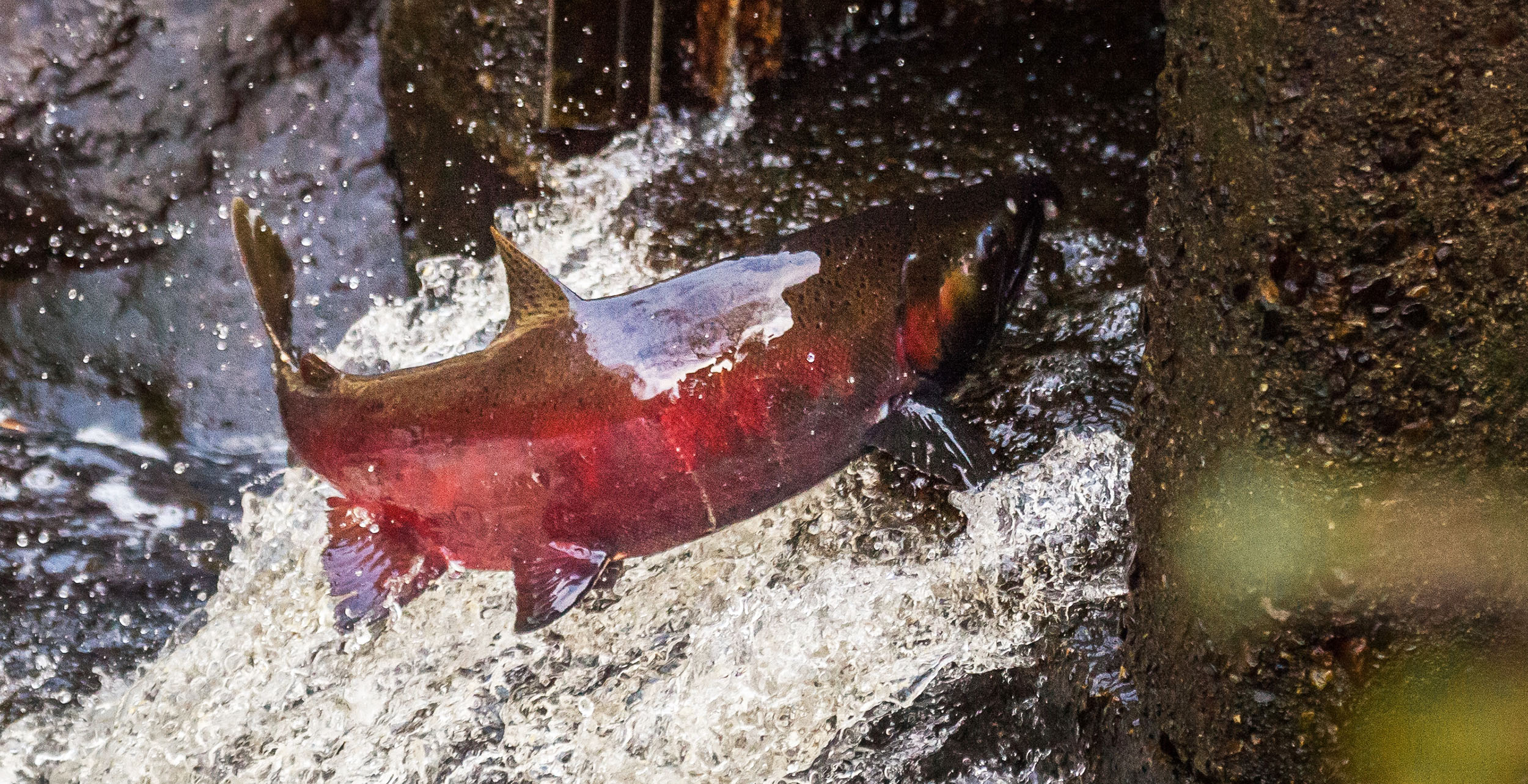 Spawning salmon jumping in a bc river conrad olson copy