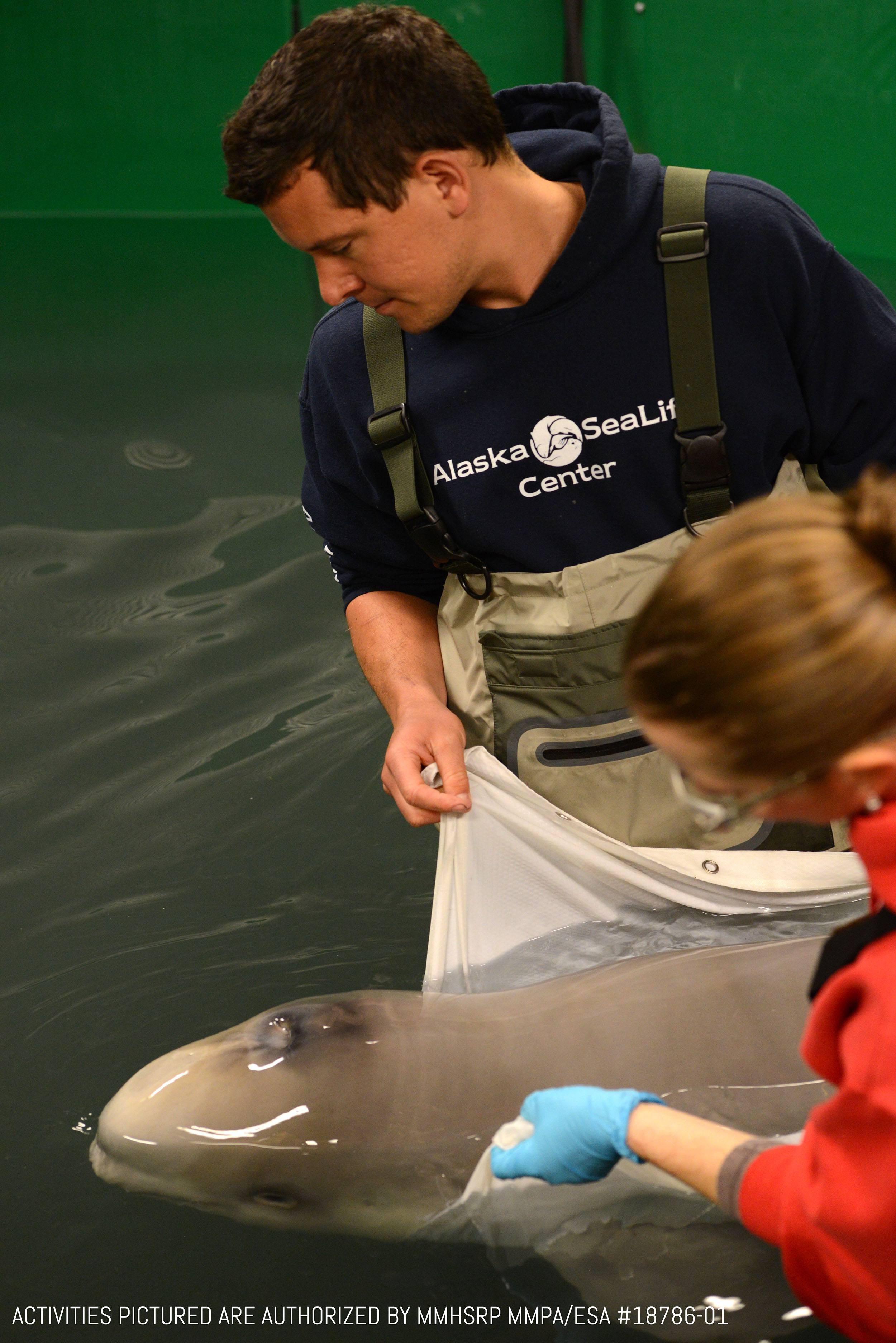The beluga calf is under 24hr critical care at the Alaska SeaLife Center. (Activities pictured are authorized by MMHSRP MMPA/ESA #18786-01/Vancouver Aquarium)