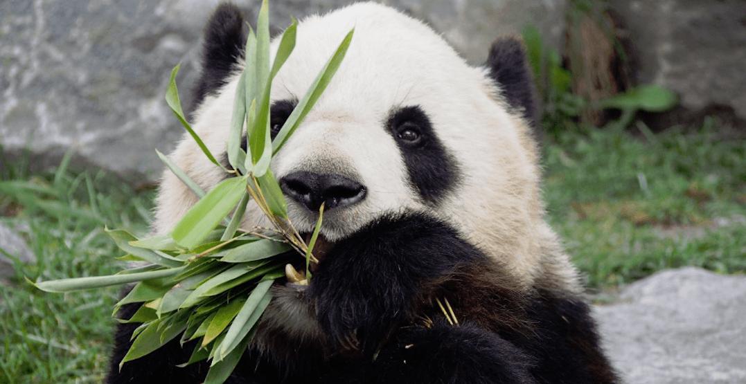 Toronto Zoo Panda Bear
