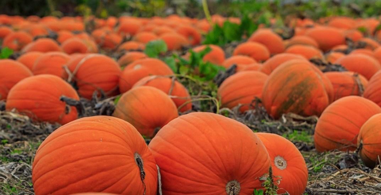 Vancouver pumpkin pumpkins halloween