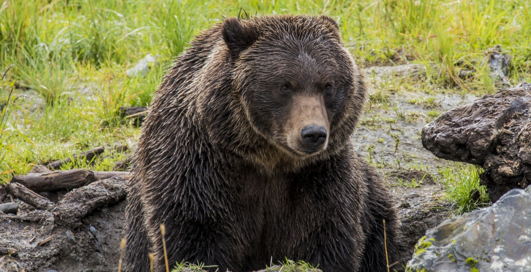 Parts of Kananaskis Country under bear warning after grizzly sightings