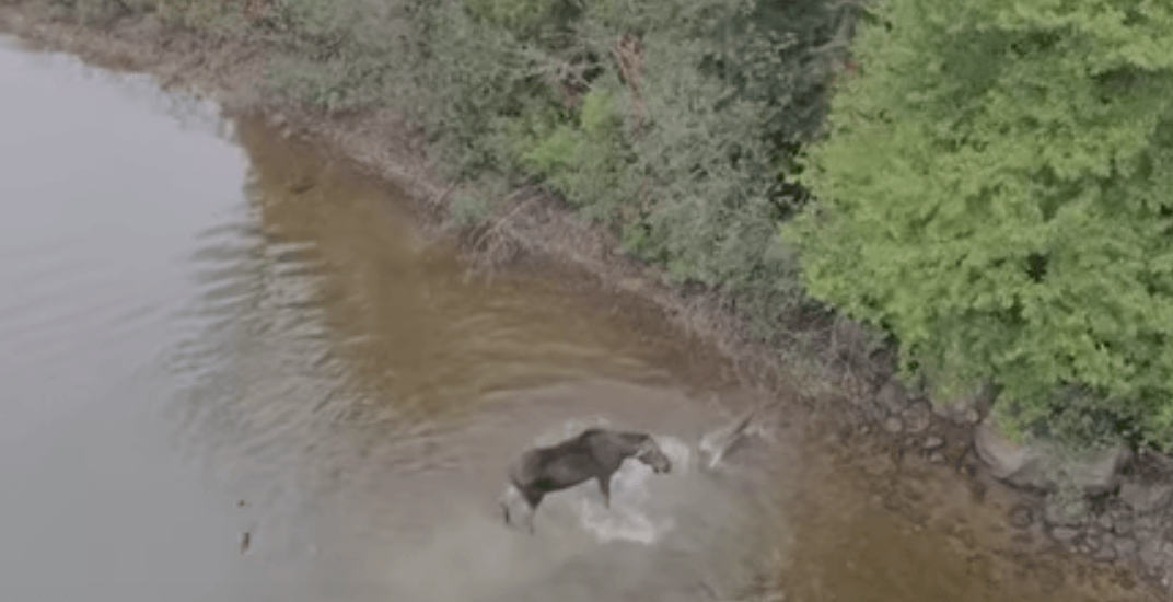 Epic drone footage captures rare moose vs wolf fight in Canadian wild