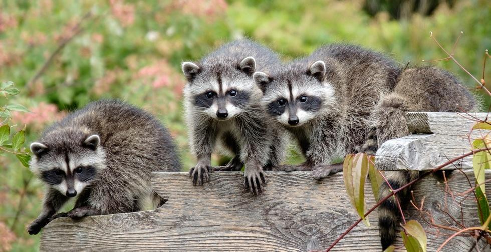 Backyard bandits by mike woods bc spca