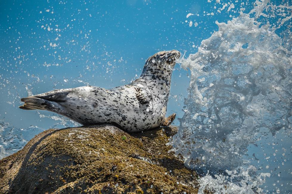 Air Guitar Seal - harbour seal at Muir Creek Beach (Mike Walsh)