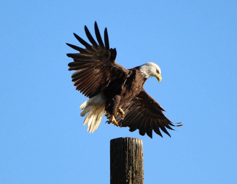 And We Have Liftoff - Bald Eagle in Burnaby (Carolyn Matt)