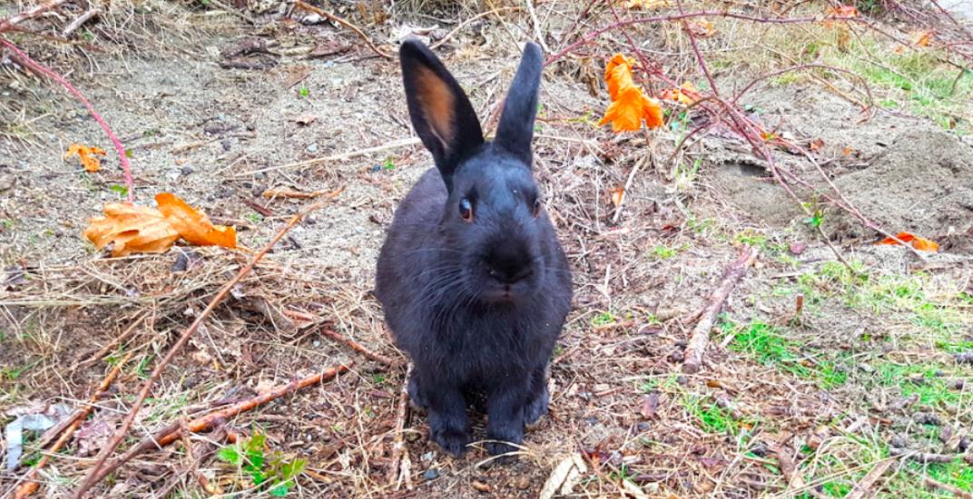 Jericho Beach wild rabbit