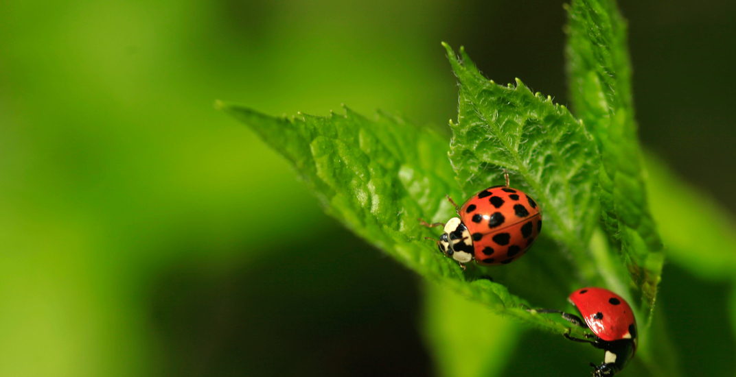 This is why you have been seeing so many ladybugs around Montreal