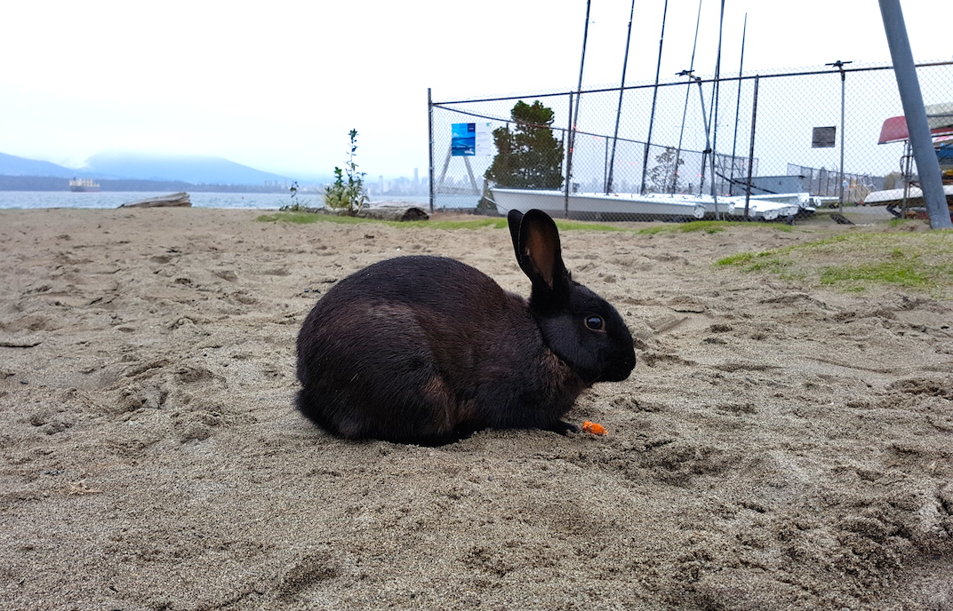 Here's the deal with those 'wild' rabbits at Vancouver's Jericho Beach (PHOTOS)