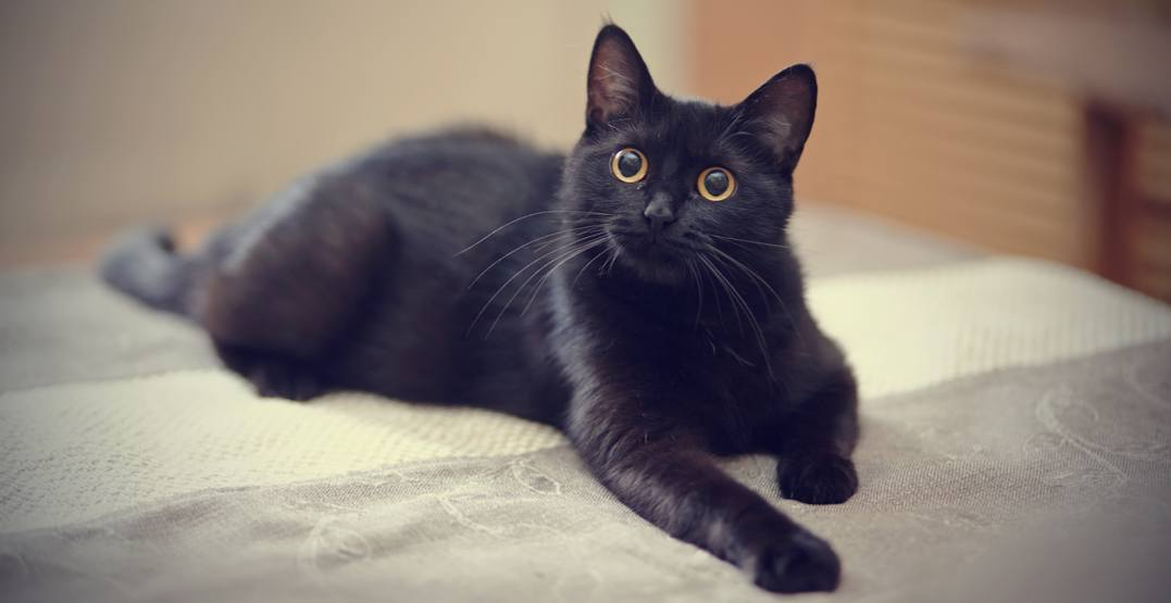 20 black cats and kittens that need a home right meow