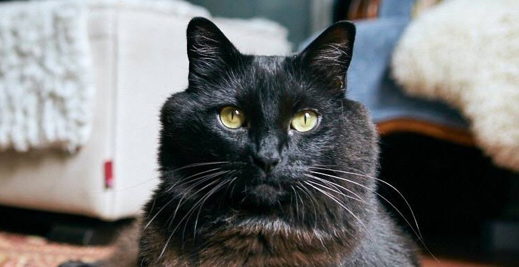 Percy the black cat feature vokra